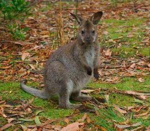 Wallaby Baby JPeg